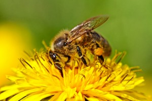 Honey Bee on a dandelion not suffering from mineral deficiency