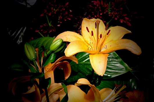 Fine Art Photography: Orange Lilium at night