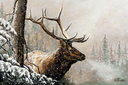 Rocky Mountain Elk, Alberta foothills