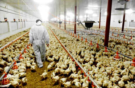 factory-farmed chicken less organic and more chemicals?