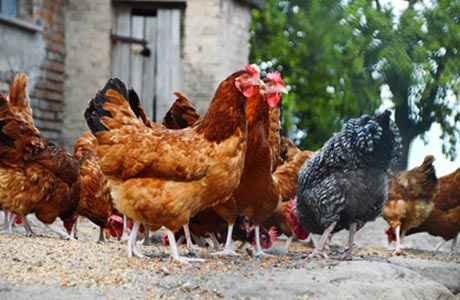 free-run-chicken, more organic food value and less chemicals?