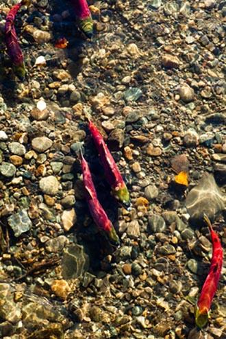 Salmon Run in Canada West