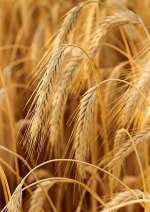 Non-GMO wheat
